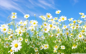 field_of_daisies-wallpaper-1280x800